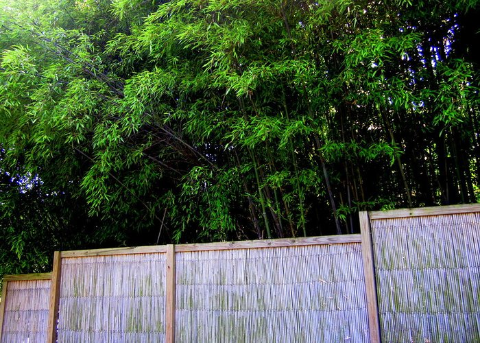 Bamboo Trees Greeting Card featuring the photograph Caged By Their Own by Peter LaPlaca