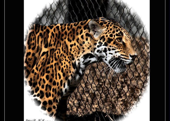 Jaguar Greeting Card featuring the photograph Caged Jaguar by Lucy VanSwearingen