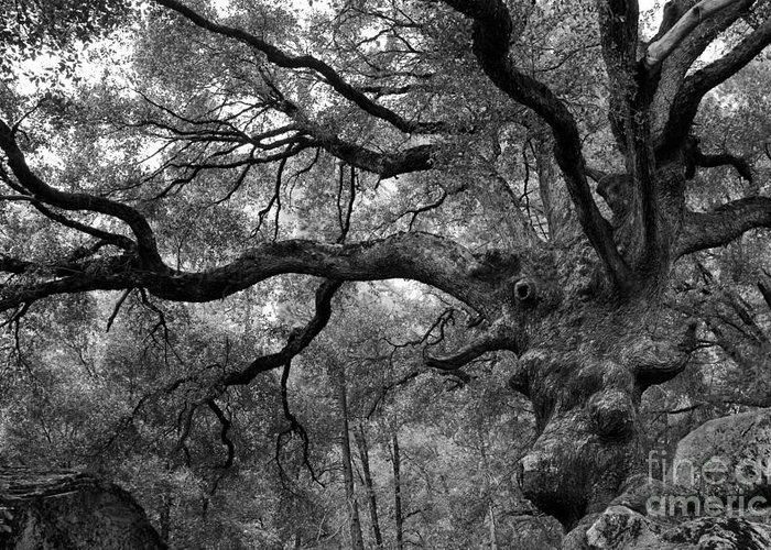 California Black Oak Greeting Card featuring the photograph California Black Oak Tree by B Christopher