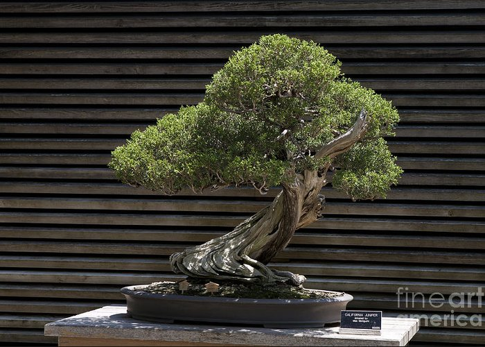 California Juniper Bonsai Tree Greeting Card For Sale By Jason O Watson