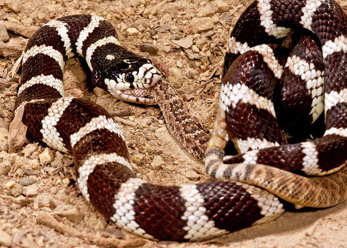 California Kingsnake Eating Western Greeting Card