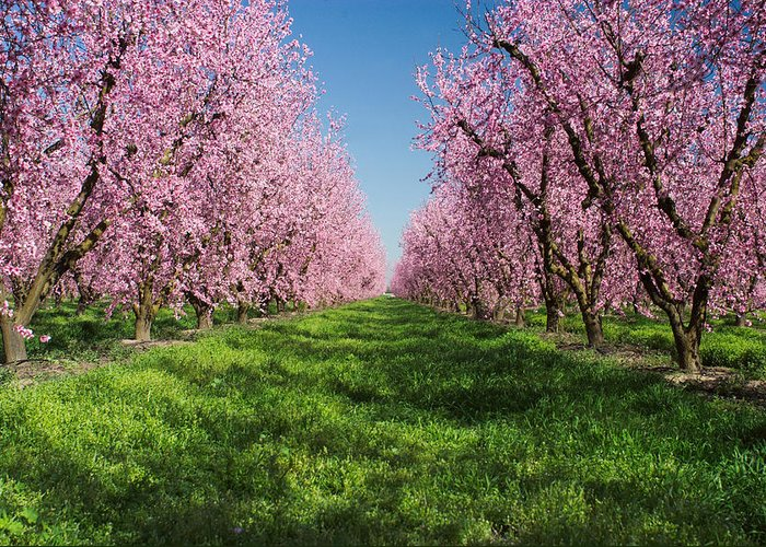 No People; Horizontal; Outdoors; Day; Growth; Agriculture; Spring; Idyllic; Tranquil Scene; California; Peach Tree; Usa; Orchard; In Bloom; Grass; Peach Blossom Greeting Card featuring the photograph California Peach Tree Orchard by Anonymous