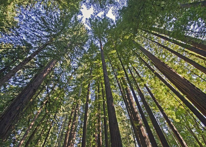 Redwoods Greeting Card featuring the photograph California Redwood Forest by Brendan Reals
