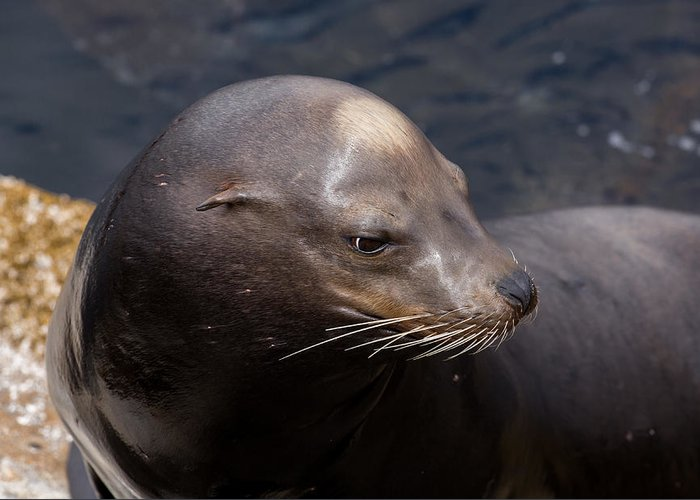 California Greeting Card featuring the photograph California Sea Lion by John Daly