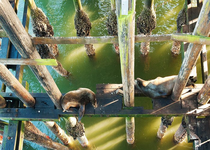 California Sealions Greeting Card featuring the photograph California Sealions Under The Santa Cruz Pier by Artist and Photographer Laura Wrede