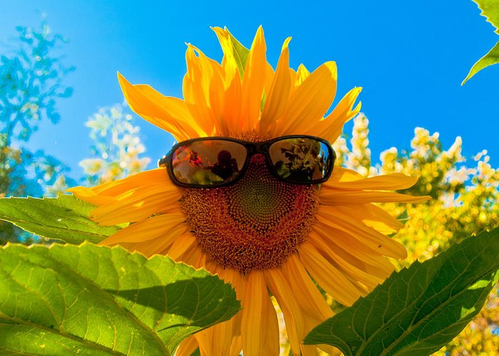 Bill Gallagher Greeting Card featuring the photograph California Sunflower by Bill Gallagher