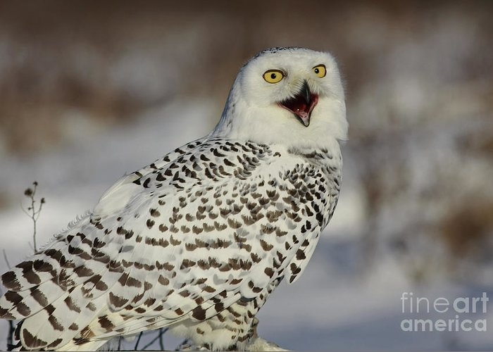 Call Of The North Greeting Card featuring the photograph Call Of The North - Snowy Owl by Inspired Nature Photography Fine Art Photography