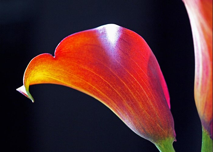 Lily Greeting Card featuring the photograph Calla Colors And Curves by Rona Black