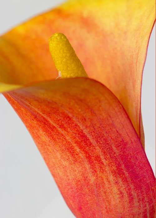 Yellow Greeting Card featuring the photograph Calla by Heidi Smith