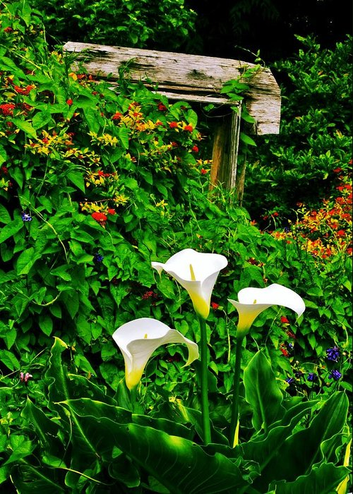 Flowers Greeting Card featuring the photograph Calla Lilies Vertical by Benjamin Yeager
