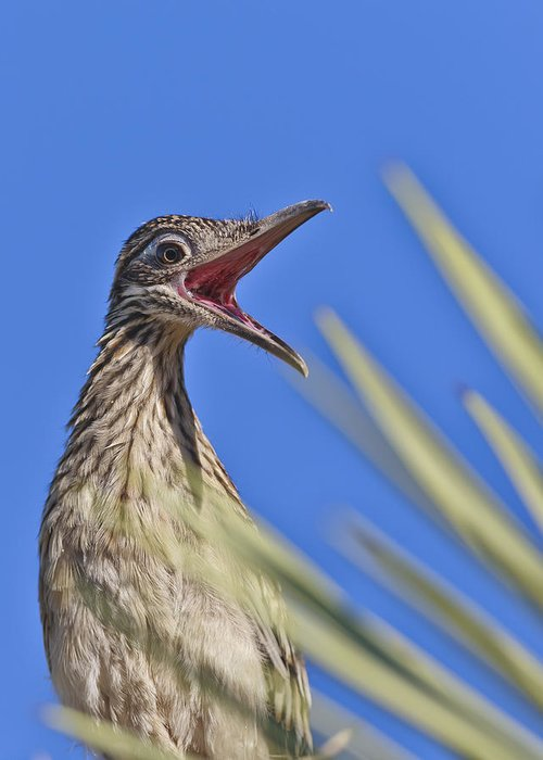 Roadrunner Greeting Card featuring the photograph Calling For Help by Dennis Hofelich