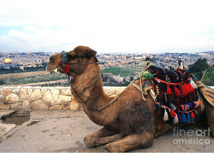 Israel Greeting Card featuring the photograph Camel And Jerusalem From Mount Olive by Thomas R Fletcher