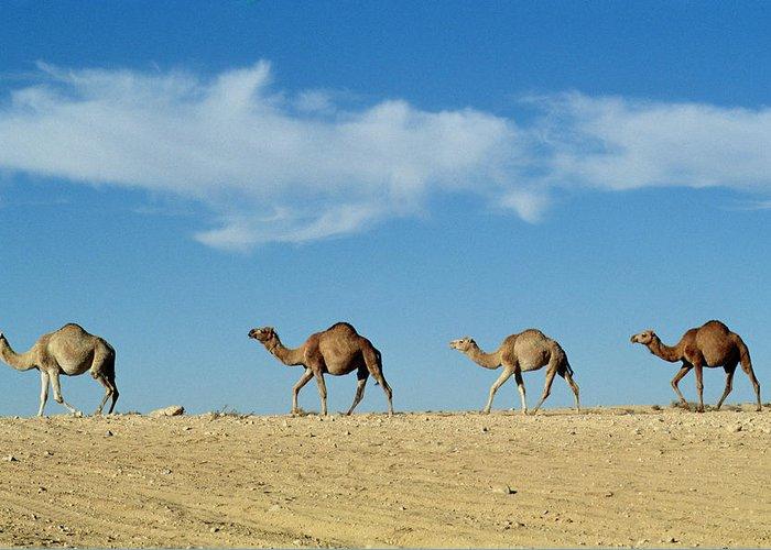 Camel Photographs Greeting Cards