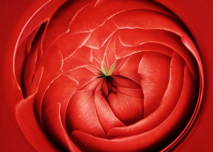 Abstract Greeting Card featuring the photograph Camelia Abstract by Keith Gondron