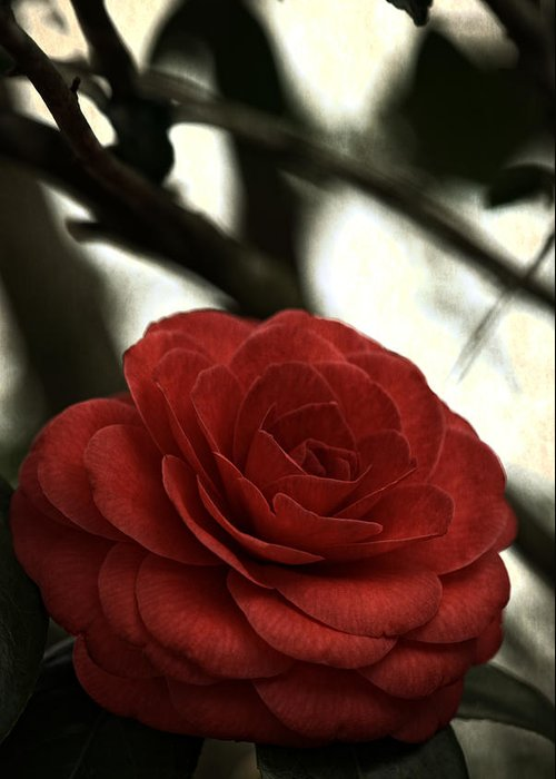 Red Greeting Card featuring the photograph Camellia Grunge by Keith Gondron
