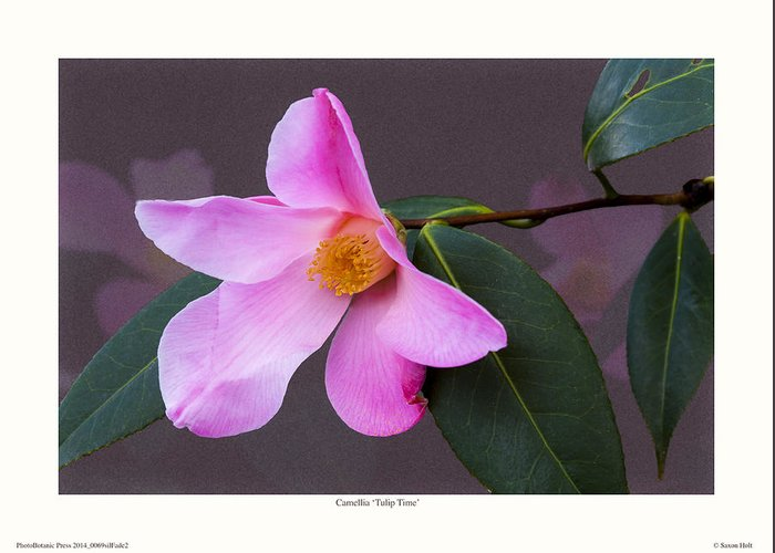 Camellia Greeting Card featuring the photograph Camellia 'tulip Time' by Saxon Holt