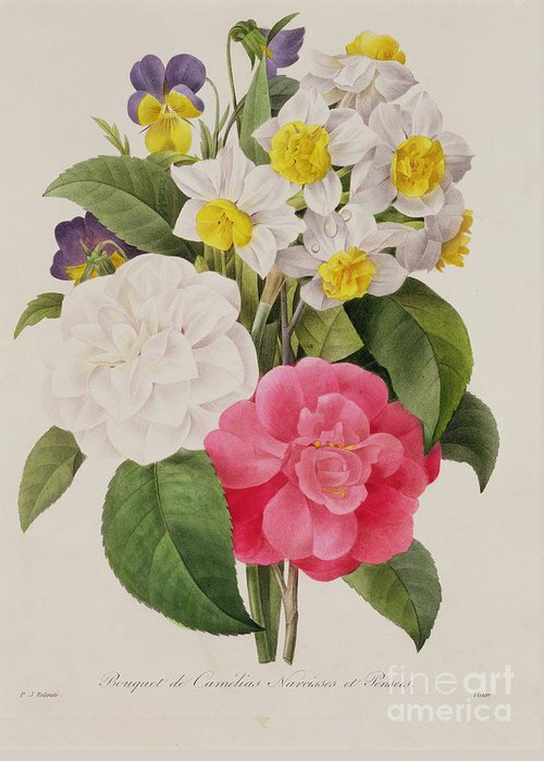 Camellia Greeting Card featuring the painting Camellias Narcissus And Pansies by Pierre Joseph Redoute