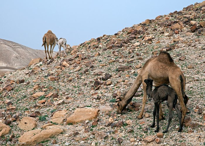 Camels Greeting Card featuring the photograph Camels At The Israel Desert -1 by Dubi Roman