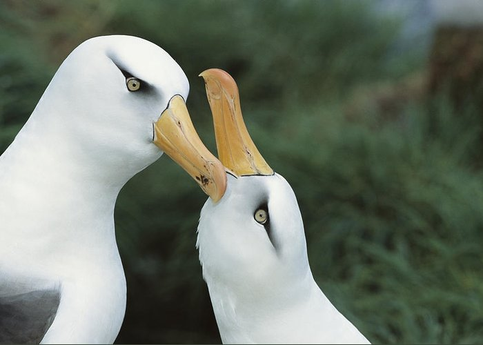 Feb0514 Greeting Card featuring the photograph Campbell Albatrosses Courting Campbell by Tui De Roy