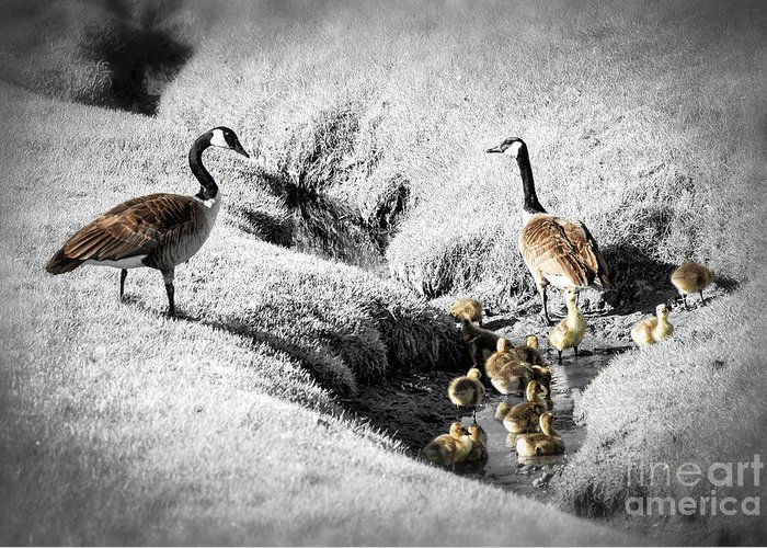 Goose Greeting Card featuring the photograph Canada Geese Family by Elena Elisseeva