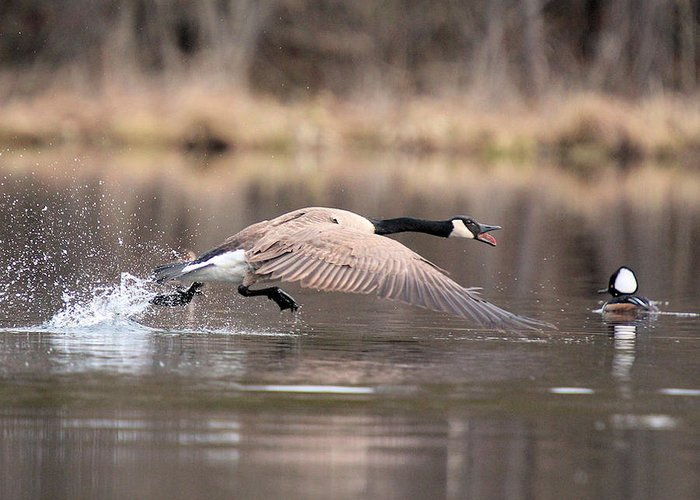 Canada Goose Greeting Card featuring the photograph Canada Goose Attitude by John Dart