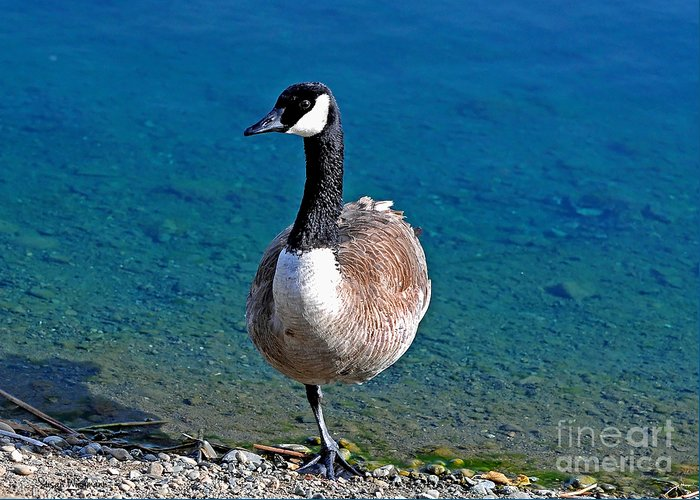 Susan Wiedmann Greeting Card featuring the photograph Canada Goose On One Leg by Susan Wiedmann