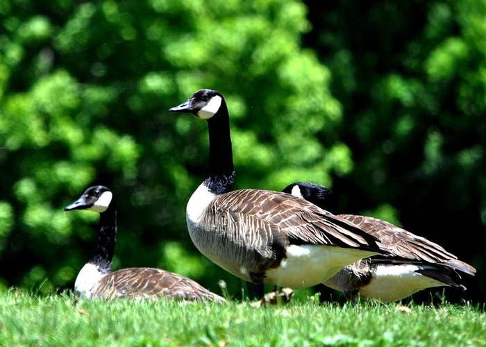 Canada Goose Greeting Card featuring the photograph Canada Goose by William Fox