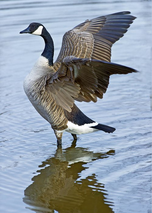 Canadian Greeting Card featuring the photograph Canadian Goose Stretching by Gary Langley