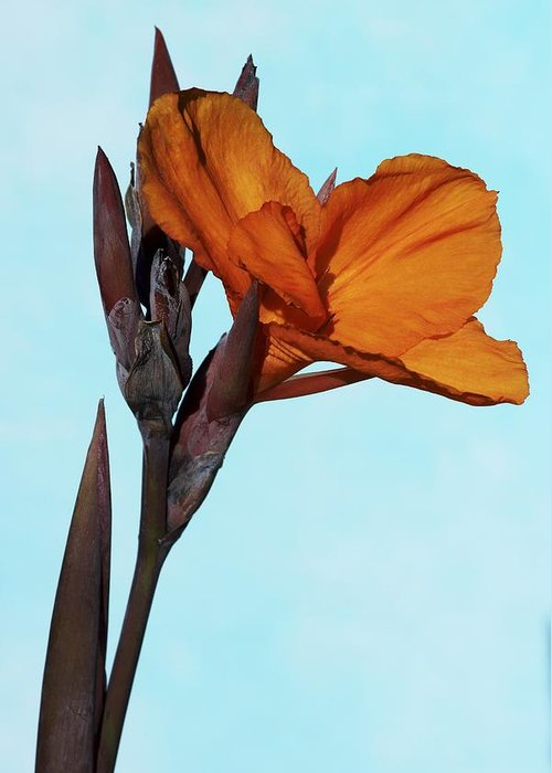 Indian Shot Greeting Card featuring the photograph Canna X Generalis 'wyoming' by Science Photo Library