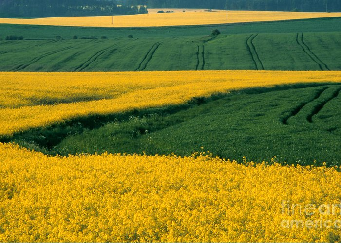 Landscape Greeting Card featuring the photograph Canola Field by Eva Kato