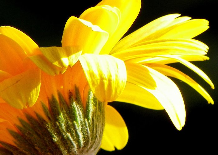 Yellow Flowers Greeting Card featuring the photograph Canopy Of Petals by Karen Wiles