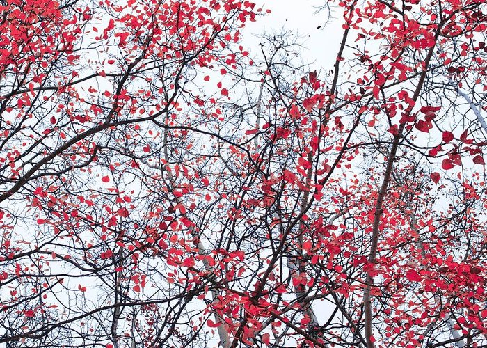 Red Leavies Greeting Cards