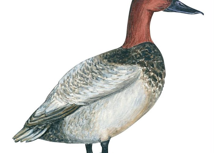 No People; Square Image; Side View; Full Length; White Background; One Animal; Wildlife; Close Up; Zoology; Illustration And Painting; Bird; Beak; Feather; Web; Animal Pattern; Canvasback Duck; Aythya Valisineria Greeting Card featuring the drawing Canvasback Duck by Anonymous