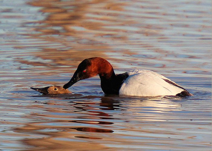 Canvasback Ducks Greeting Card featuring the photograph Canvasbacks Mating by John Dart