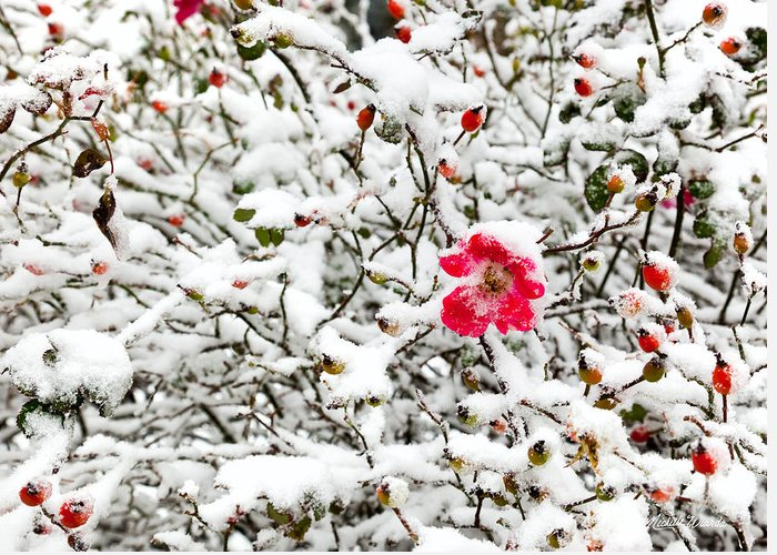 Cape Cod Beach Rose In Early Snow Greeting Card featuring the photograph Cape Cod Beach Rose In Fresh Snow by Michelle Constantine