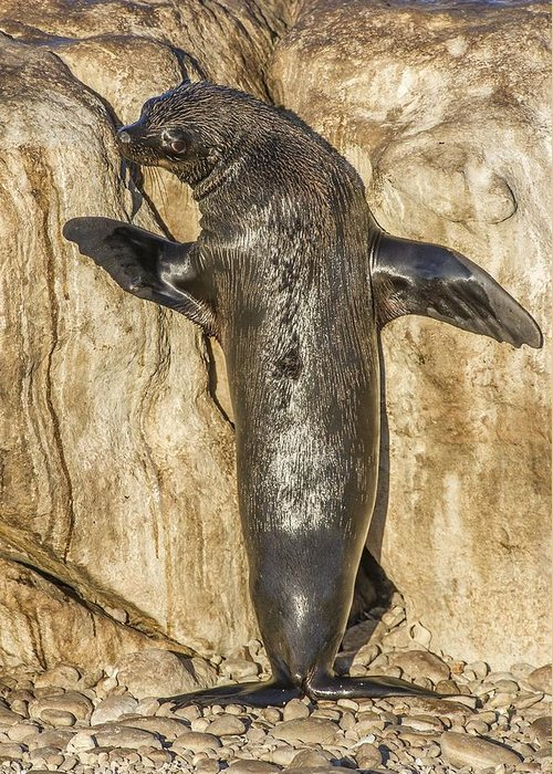 Arctocephalus Pusillus) Greeting Card featuring the photograph Cape Fur Seal Basking In The Sun by Science Photo Library
