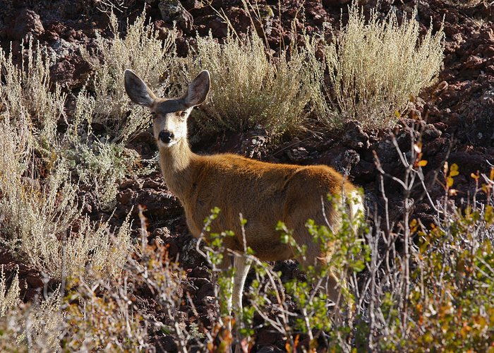 Black Mesa Greeting Card featuring the photograph Capulon Doe by Charles Warren