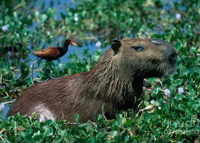 Capybara Greeting Card featuring the photograph Capybara And Jacana by Francois Gohier