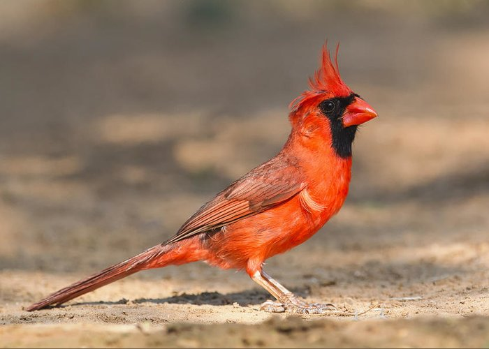 Cardinal Greeting Card featuring the photograph Cardinal - Male 1 by Kurt Bowman