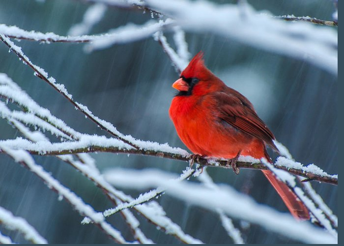 Cardinal In A Storm Framed Prints Greeting Card featuring the photograph Cardinal In A Storm by John Harding Photography