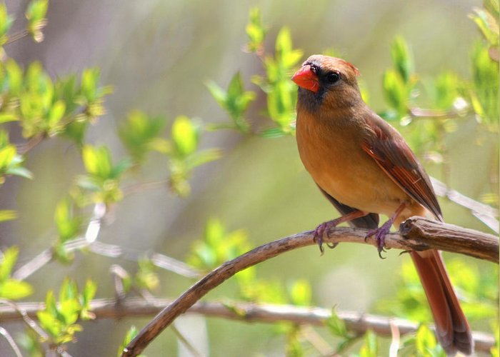Cardinal Greeting Card featuring the photograph Cardinal In Spring by Sandi OReilly