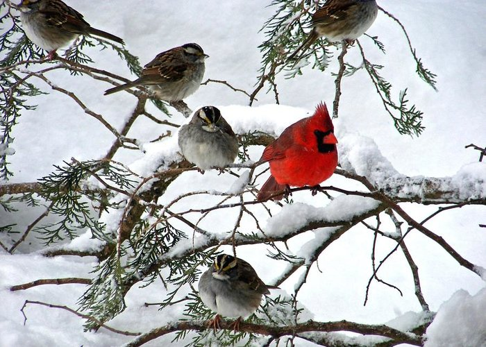Cardinal Greeting Card featuring the photograph Cardinal With White Throated Sparrows by William Fox