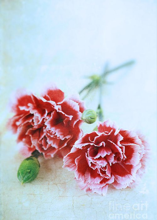 Colour Greeting Card featuring the photograph Carnations by Stephanie Frey
