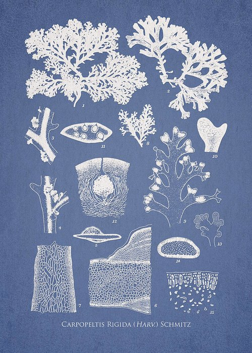 Algae Greeting Card featuring the drawing Carpopeltis Rigida by Aged Pixel