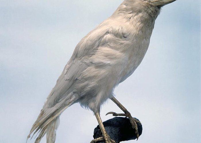 Carrion Crow Greeting Card featuring the photograph Carrion Crow, Mounted Albino Specimen by Science Photo Library