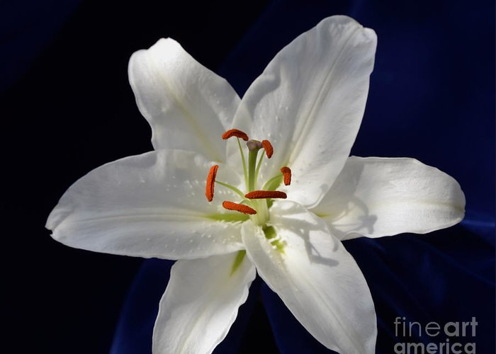 Lily Greeting Card featuring the photograph Casablanca White 0935 by Terri Winkler