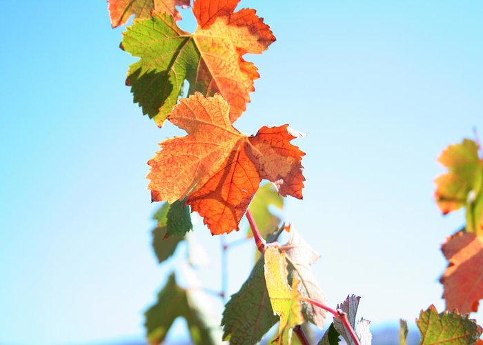 Vine Greeting Card featuring the photograph Cascade by Stacy Harty