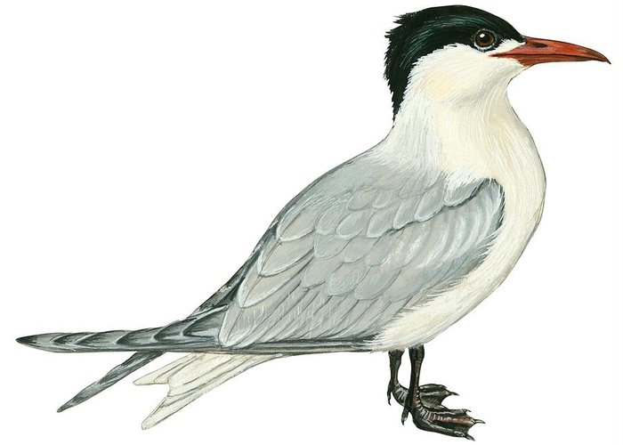 No People; Horizontal; Side View; Full Length; White Background; One Animal; Wildlife; Close Up; Illustration And Painting; Zoology; Bird; Wing; Feather; Beak; Grey; Black; Web; Tail; Caspian Tern; Sterna Caspia Greeting Card featuring the drawing Caspian Tern by Anonymous