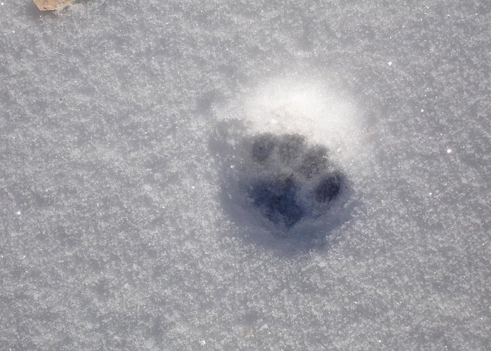 Snow Greeting Card featuring the photograph Cat Snow Print by Kim Baker