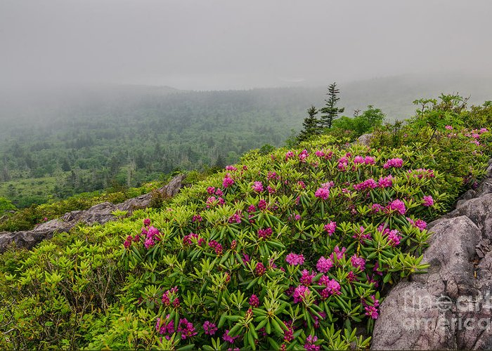 Rhododendron Greeting Card featuring the photograph Catawbas And Fog by Anthony Heflin